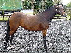 NPS British Riding Pony Broodmare