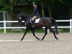 TOP BRED DRESSAGE HORSE
