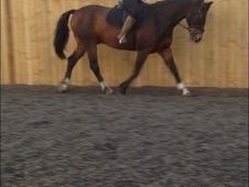 16. 1hh Bay Irish Sport Horse