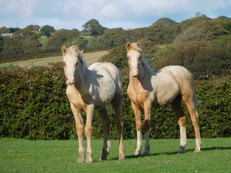 SMART SHOW QUALITY PALOMINO WELSH COB SECTION D FILLIES - OTHER SHOW QUALITY STOCK AVAILABLE FROM FOALS UPWARDS