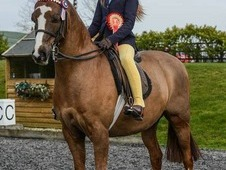 Gorgeous 128 show hunter pony