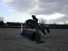 Lovely 5 coming 6 yr old mare, very good breeding to include pilo...