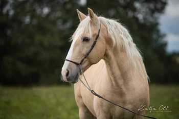 BEAUTYFUL LUSITANO GELDING IN SPECIAL COLOR PALOMINO