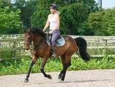 GORGEOUS 6 YEAR OLD DUTCH MARE 16HH