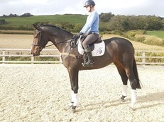 17.1 HH 6 year old Holstein Warmblood