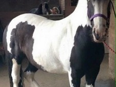 14. 3hh Chunky Cob for share