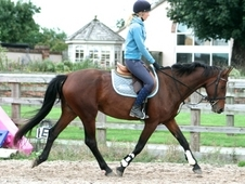 SUPER 5 YEAR OLD LUX MARE 16. 1HH