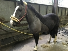 Handsome black cob x gelding