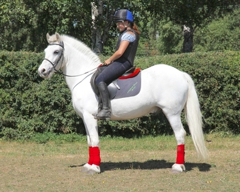 Super Blue & White, 14:1hh, Irish Allround Gelding.