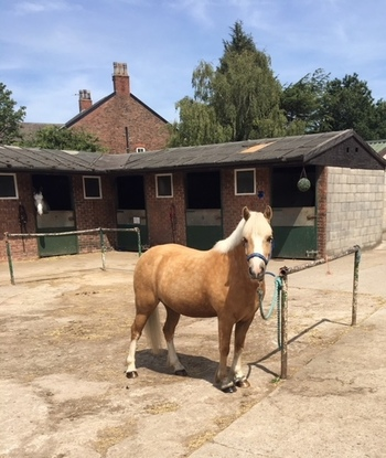 12 hh Welsh Section A Palomino gelding 8 years