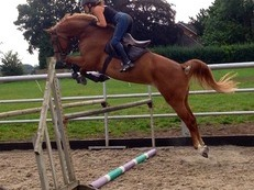 showjumper/dressage stunning competition mare
