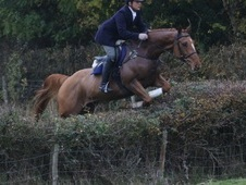 Hunting Machine Irish Sports Horse