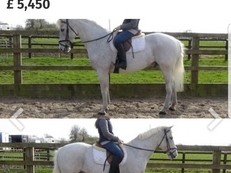 Real 15.1hh Genuine Schoolmaster. Safe and Sensible All-rounder