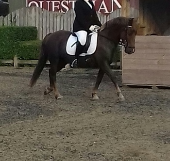 13.2hh handsome newforest gelding