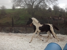 Honeybrook Extraordinary homozygous tobiano