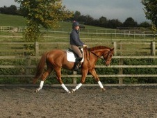 Quality dressage/ hacking/ family horse