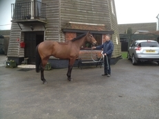 Absolute gentleman, Lovely 16 hand thoroughbred