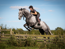Harris -16. 1 9yo TB Dark Grey Gelding