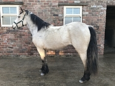 Dun Irish Draught x Connemara Filly To Mature 16hh