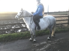 Dapple Grey 11hh Connemara x Welsh Filly Rising 4 Years