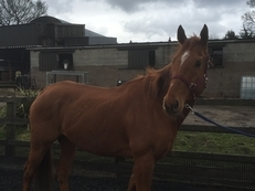 16.3hh Chestnug Gelding 10 Years Old Quiet Project