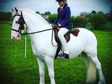 *Super Rare* Stunning All Rounder 14. 3 Coloured Cob