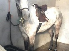 Stunning Connemara broken and riding gelding for sale