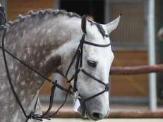 ENERGETIC DUTCH WARMBLOOD HORSES AVAILABLE