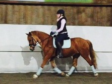 Wonderful Irish/Welsh 14. 2hh competition pony for sale.