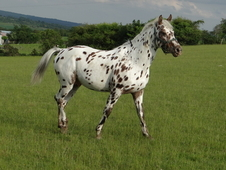 Young Appaloosa Stallion