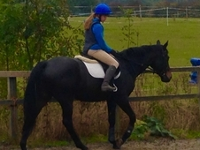 16. 2 hh Very Dark Bay, Irish Sport Horse, Mare