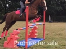 Sharer wanted for talented 15. 3 mare
