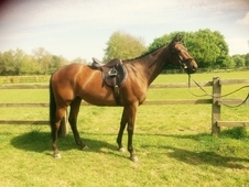 Beautiful bay mare, lovely paces
