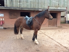 Lovely Welsh Part Bred Mare