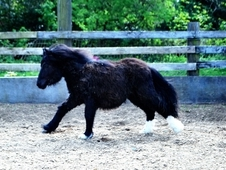 Black Yearling Mini Cob for Sale