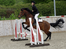 14. 1hh new forest pony gelding