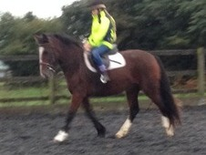 Lovely Sensible 14. 2hh Connemara x Mare