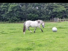 For Sale Highland pony Gelding