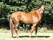 16HH, 6 YEAR OLD, WARMBLOOD MARE - BY LUPICOR