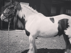 13.3hh traditional  cob