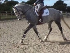 16.2hh stunning 7YO uncomplicated allrounder and super safe hunter