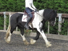 Traditional dressage or family cob
