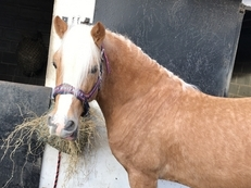 Palomino Welsh section D gelding