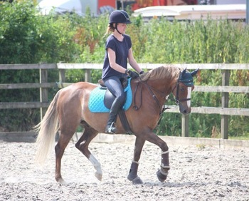 Welsh section b gelding