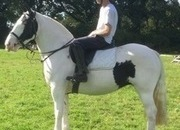 Beautiful Irish Cob Mare