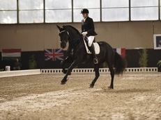 5 Yr old Friesian Star Mare