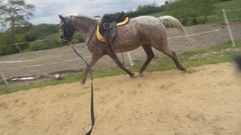 13hh spotted gelding ,  SOLD