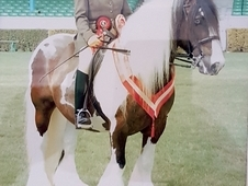 wanted cobs and riding horses