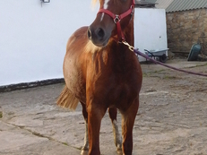 SMART WELSH COB SECTION D MARE WITH POTENTIAL - IDEAL COMPETITION PONY. OTHER SHOW QUALITY HORSES AVAILABLE FOR SALE From around 13.3hh - 15hh+  Please visit  website for details