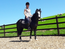 12. 2 hh flashy black 3yr filly